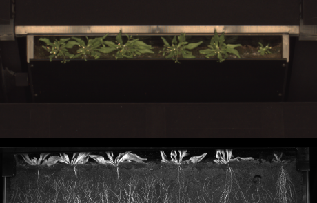 Arabidopsis root and shoot phenotyping