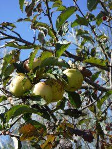 Apple scab infestation