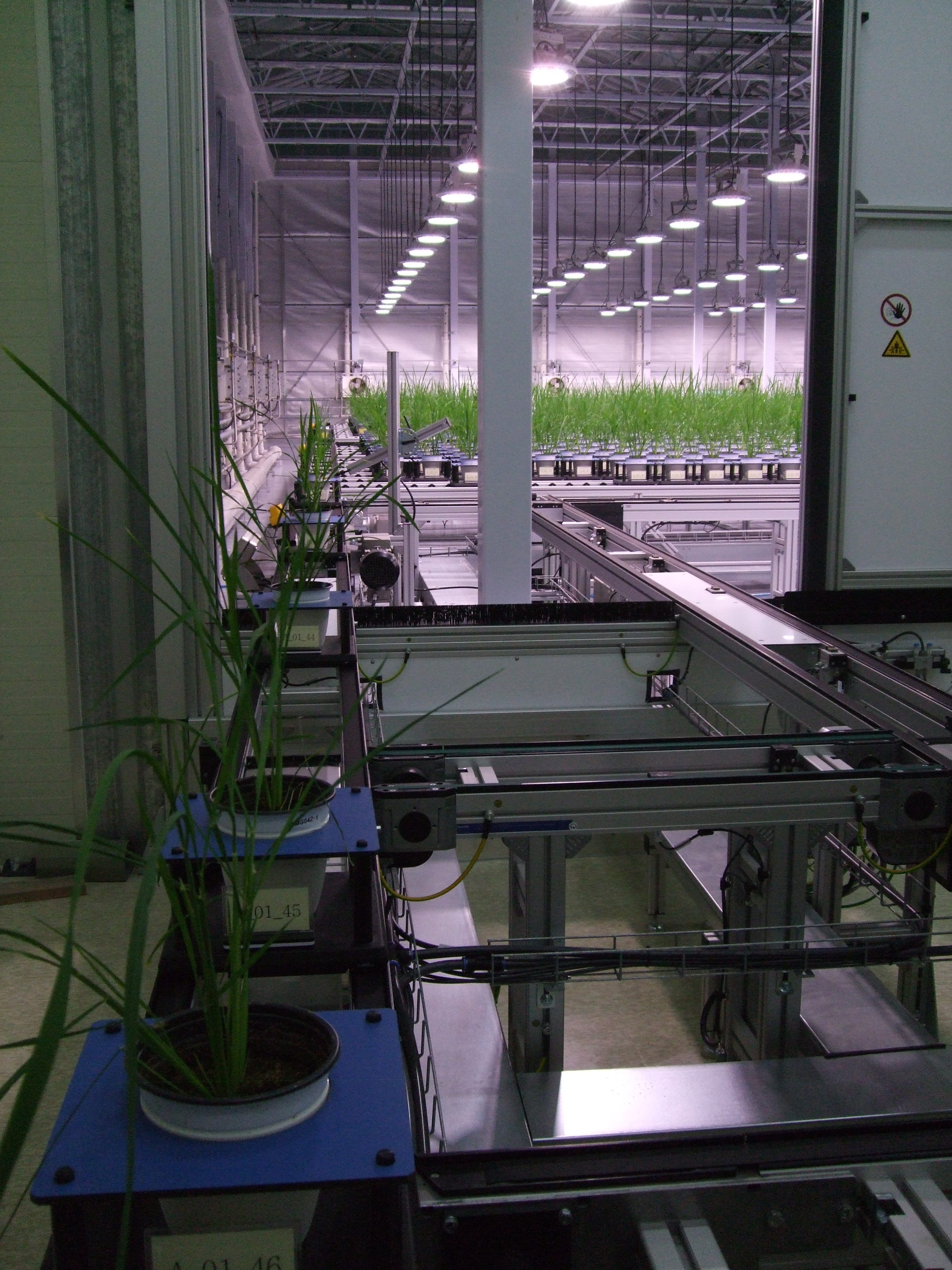Rice in Conveyor Scanalyzer