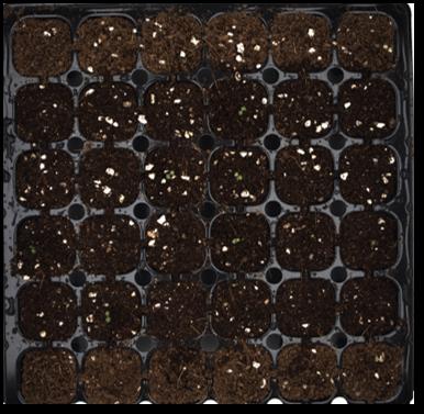 Emerging seedlings