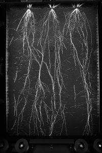 Barley roots in rhizotron - Growscreen Rhizo