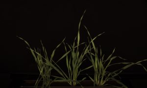 Side view of barley shoots - Growscreen Rhizo
