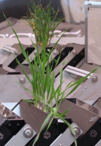 Barley growing in Growscreen Rhizo