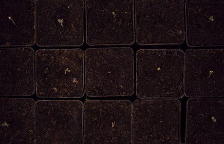 Hemp seedling emergence