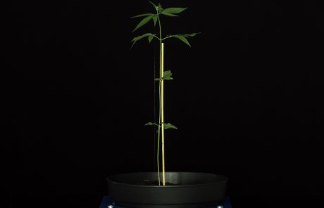 Hemp plant phenotyping side view