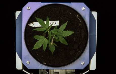 Hemp plant phenotyping top view