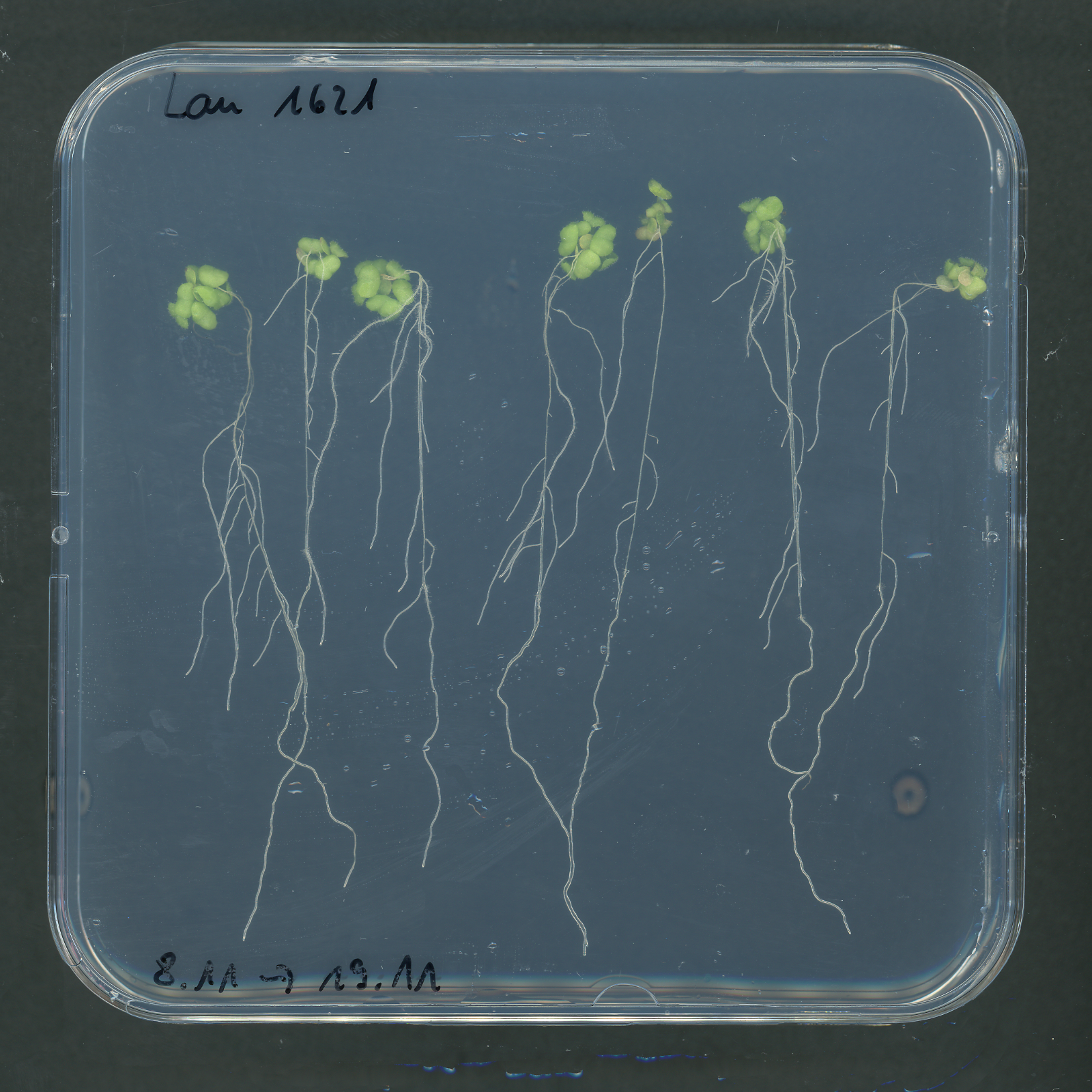 Seedlings on Agar Imaging