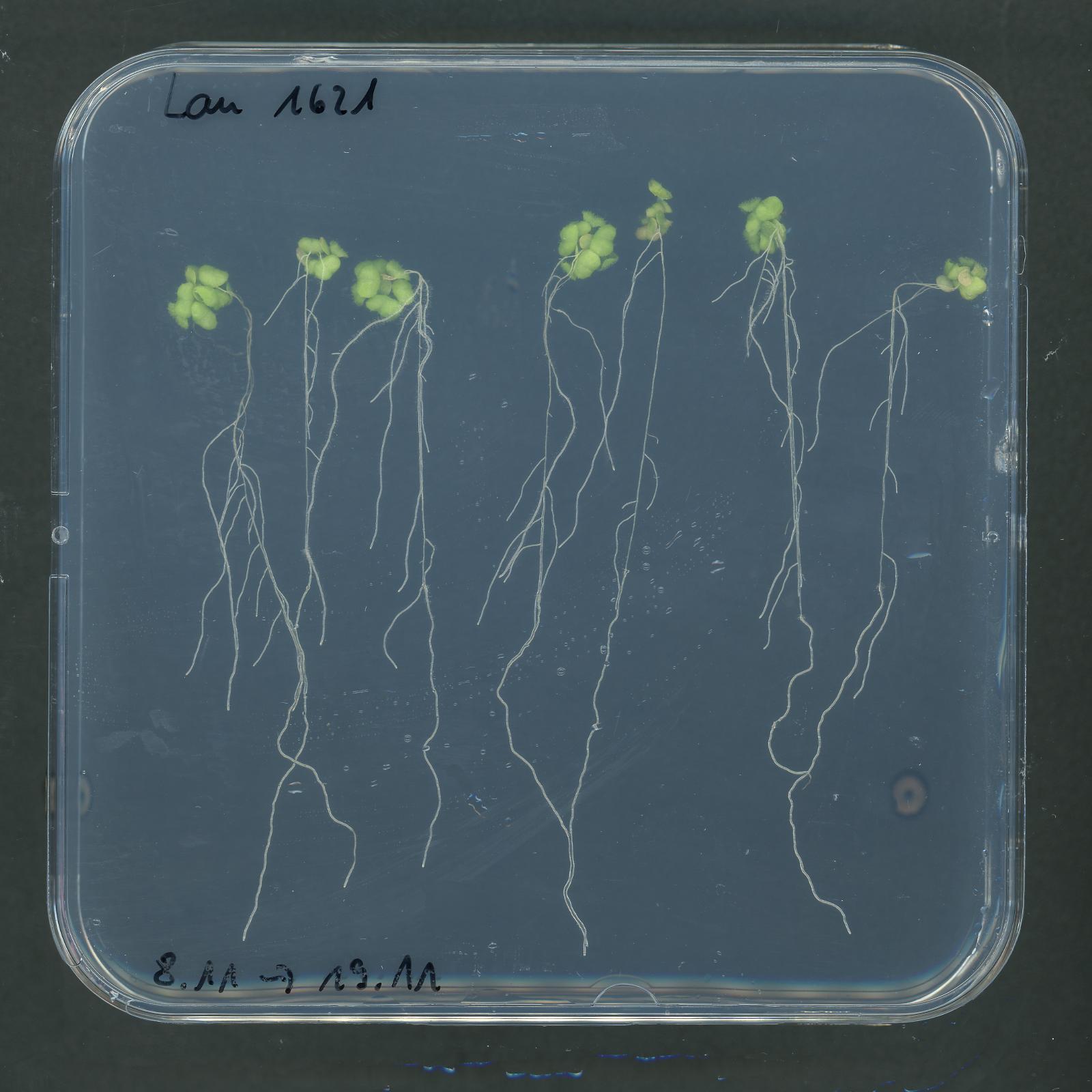 Seedlings on Agar Imaging