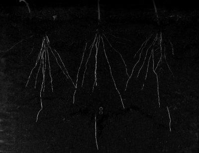 Roots in Rhizotron at Growscreen Rhizo