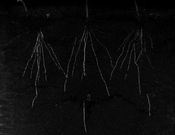 Roots in Rhizotron at Growscreen Rhizo