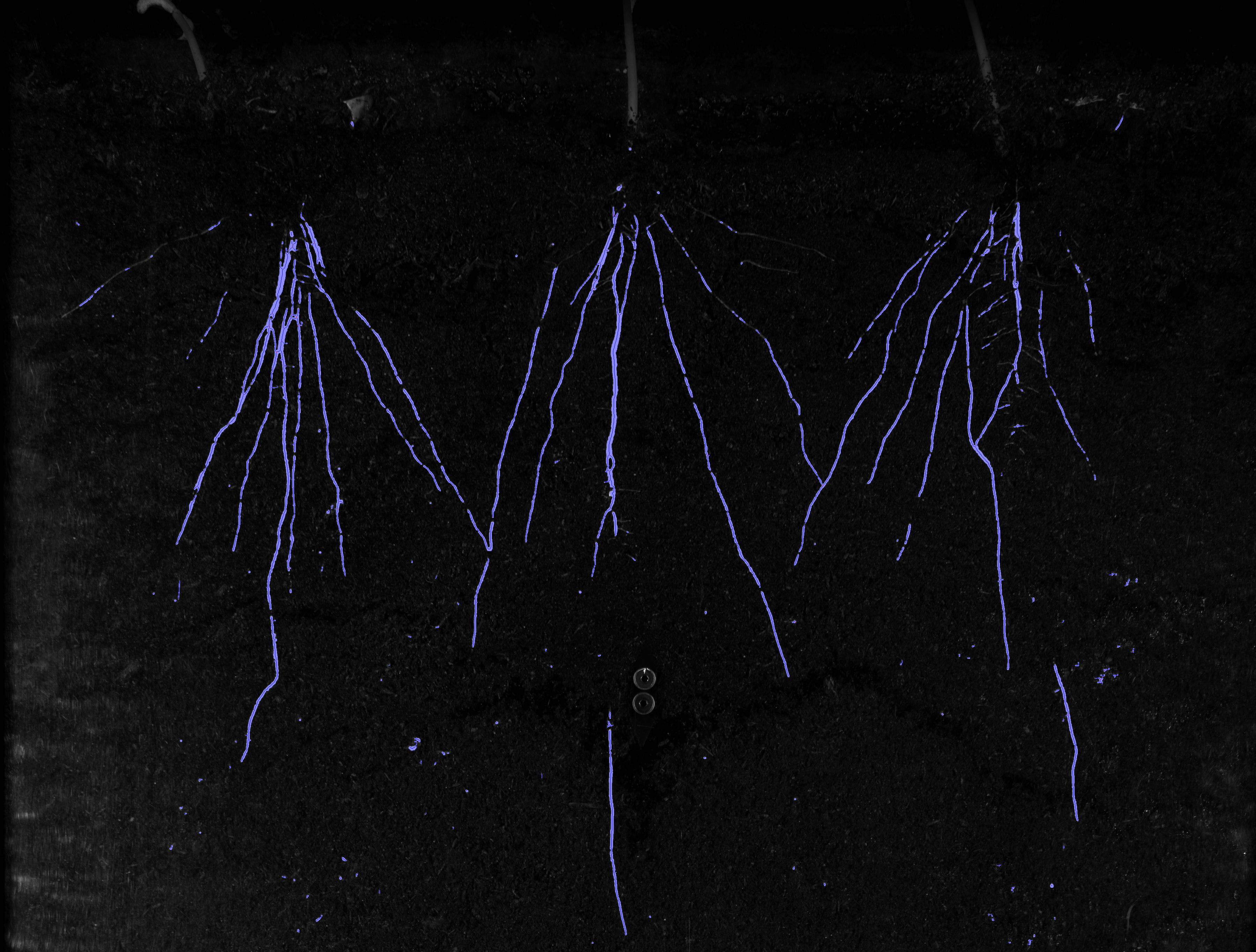 Roots in Rhizotron at Growscreen Rhizo anaylsed with LemnaTec Software