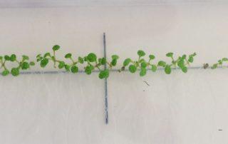 Seedlings on Agar