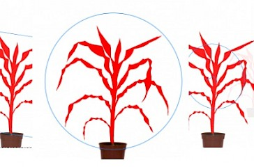 morphometric analysis of maize plants